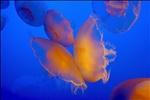 Butterfly Jellies