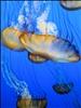 """DSC24283, Sea Nettle (""""Chrysaora Fuscescens""""), Monterey Bay Aquarium, Monterey, California, USA"""