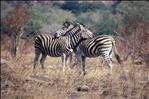 Zebras 0333910-R1-E014