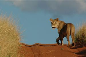 kalahari desert cat
