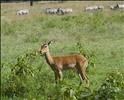 Female impala, Lake Nakuru National Park, Kenya