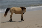 Pooping Pony on Assateague Nat. Park Island...