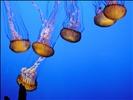 """DSC00268, Sea Nettle (""""Chrysaora Fuscescens""""), Monterey Bay Aquarium, Monterey, California, USA"""