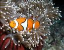 White Bonnet Clownfish