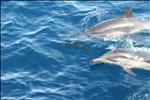 Common Bottlenose Dolphins, near Santa Cruz Island, Channel Islands National Park, California (10)