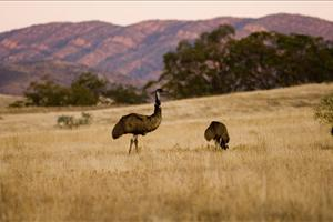 emus in broome