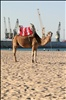 Camel and Cranes - Beachfront - Tangier, Morocco