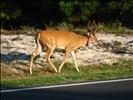 Assateague National Park Deer