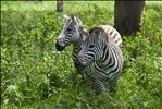 Zebras, Lake Nakuru National Park, Kenya