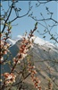 tree blossoms in the hunza valley
