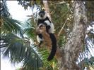 Black And White Ruffed Lemur, Île Aux Nattes