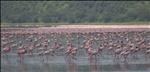 Flamingos on Lake Nakuru, Lake Nakuru National Park, Kenya