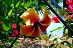 Hibiscus - Roatan, Honduras