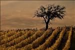 Tuscany's vineyard