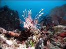 Lionfish on reef