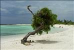 Divi Tree on Baby Beach Aruba