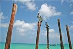 Brown Pelicans @ Eagle Beach