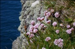 Thrift or 'Sea Pink' (Armeria maritima) on cliffs