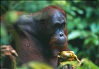 Happy Orangutan