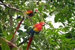 Scarlet Macaws in Corcovado