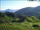 Fields and fields of...... Tea