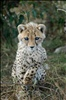 Young blind cheetah