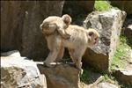 Monkeys, Jidokudani monkey park