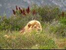 Dozing Lion