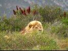 Dozing Lion