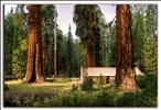 Secuoyas gigantes, giant sequoias.