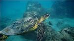 Sea Turtle @ Hanauma Bay