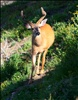 Young buck checking me out on Hurricane Hill