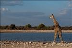 Girafa en Etosha