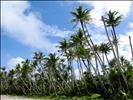 Guam coconut trees