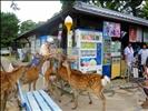 Deers in Nara