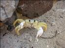 Scared Crab