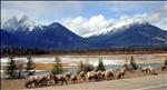 Canadian Bighorn Sheep