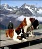 Schweiz - Bernhardiner auf dem Gornergrat