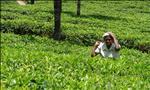 a woman working in the tea fields