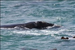 Whales at Hermanus