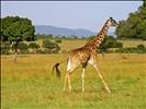 Running giraffe 1