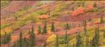 Fall foliage on the Denali Highway