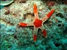 starfish-sipadan