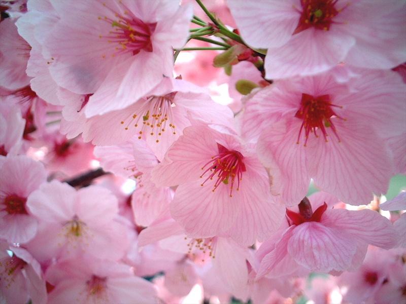 Sakura The Cherry Blossom Festival