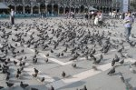 San Marco pigeons (2006-05-580)
