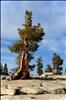 upright trees || gerade Bäume