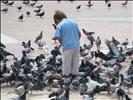 pigeons mayhem
