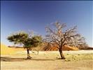 Trees, Sossusvlei