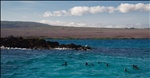 Penguins - near Elizabeth Bay - Isabela Island - Galapagos Islands (2)