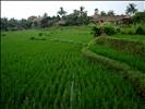 Ubud Rice Paddy Fields - Bali Indonesia (12)